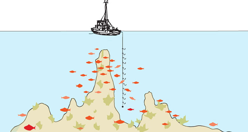 A multi-hooked line weighted at the bottom is dropped into the waters adjacent to vertical outcroppings where fish congregate. The fisherman gently drifts into position and holds that position while slowly retracting the line, encouraging fish, then, in succession, other fish, to bite onto it.  This method of capture is used by small boat artisanal fishermen and demands a high level of skill and knowledge. Accepted by experts as one of the cleanest and most target-specific fishing methods, with no environmental damage, hook and line fishing is fast becoming a lost art. Newly legislated governmental permit and quota restrictions that allow commercial trawlers rights to waters, prohibit hook & line fishermen access to the areas that they've been stewarding and sustainably harvesting from for years.