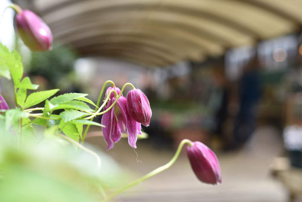 Spring flowering clematis at the plant centre