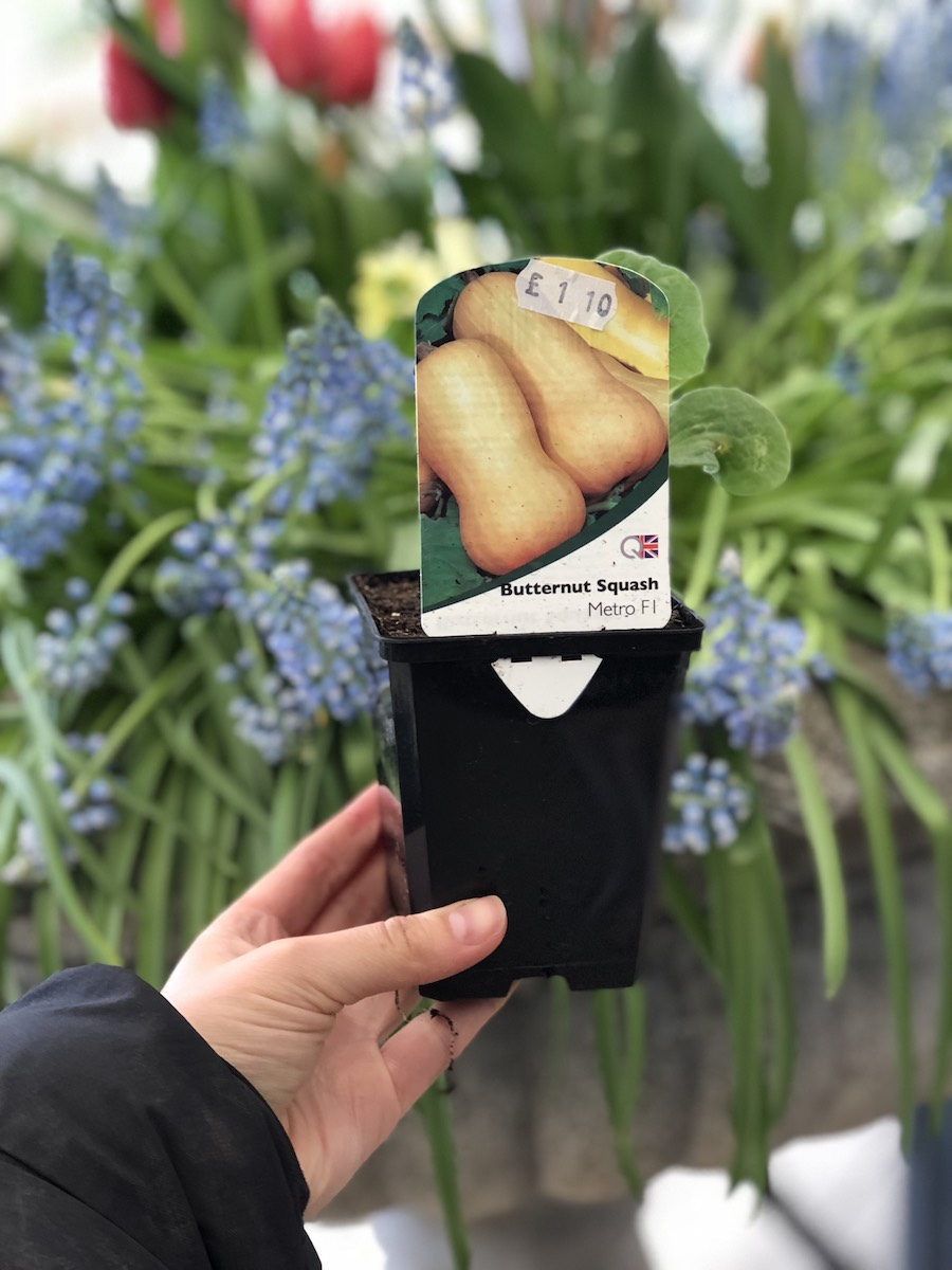 Butternut Plant.jpg