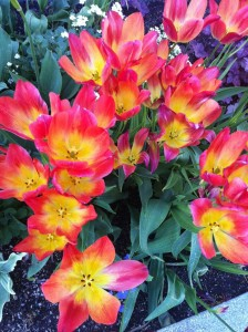 I found these tulips both dazzling and delightful.