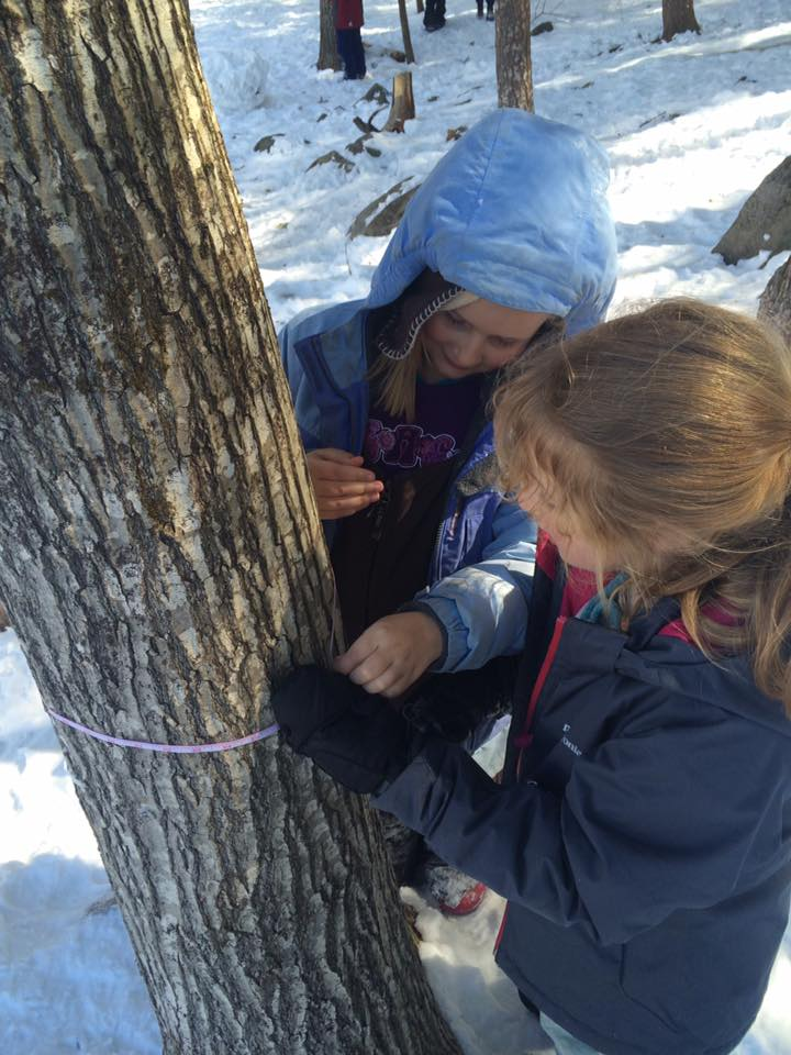 Lower Elementary students measure the circumference of a sugar maple to determine how many taps to put in.