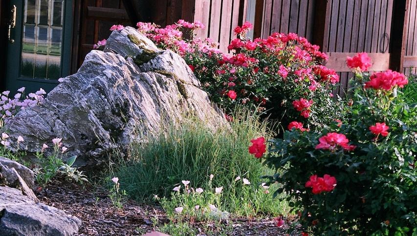 Boulder:Rose.JPG