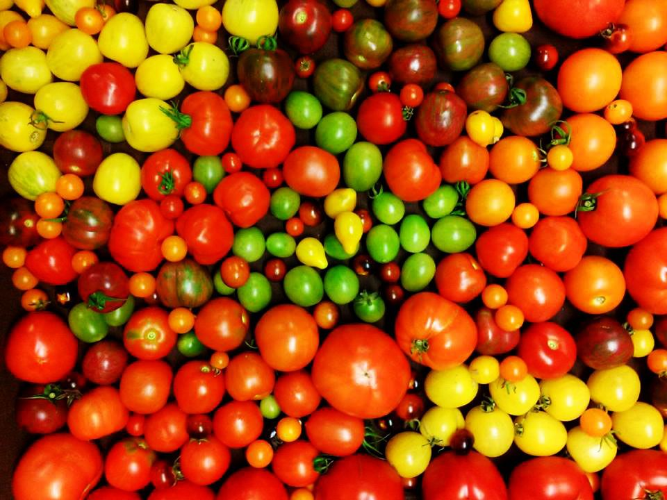 Rtomatoes3.jpg