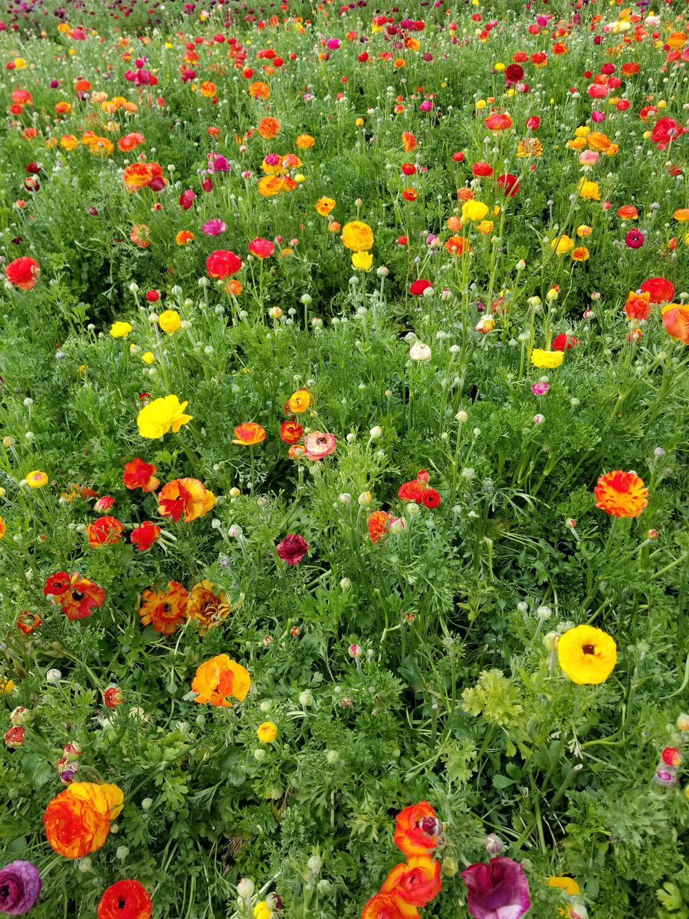Acres of ranunculus blooming in Carlsbad, California, made a perfect site for an installation, March 2018.