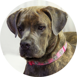 Karma Our four year old Cane Corso brings new meaning to the term security. If you happen to see her, you probably have less than 3 seconds to run. Stop reading, start running!