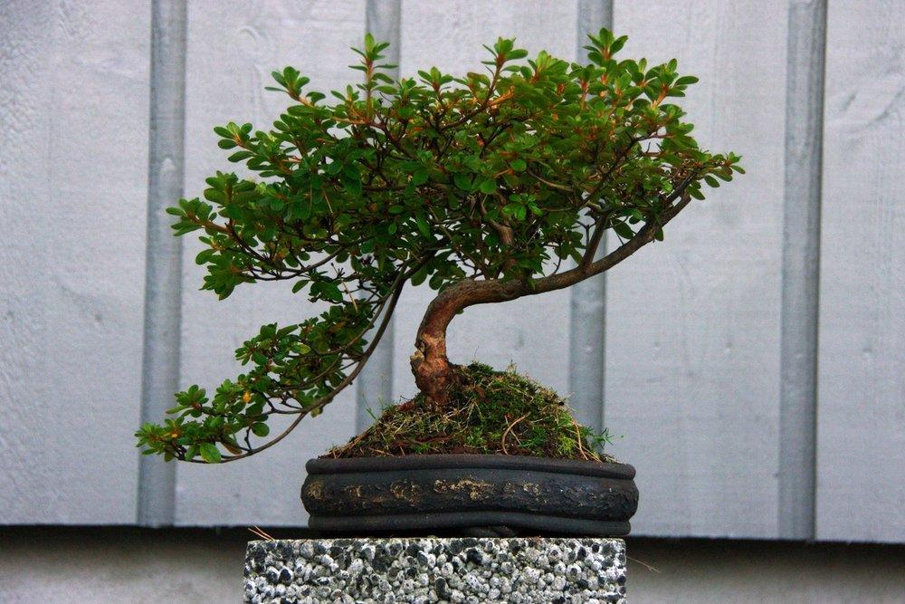 Dverg rhododendron-bonsai • Foto: Per Arild Gjerde