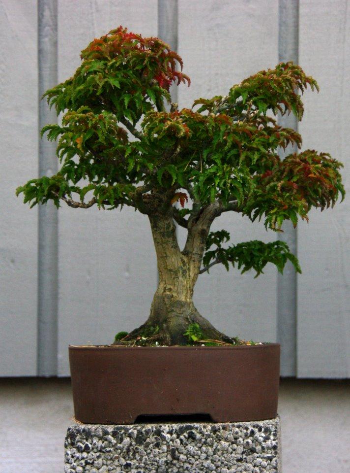 Acer shisikoshira-bonsai • Foto: Per Arild Gjerde