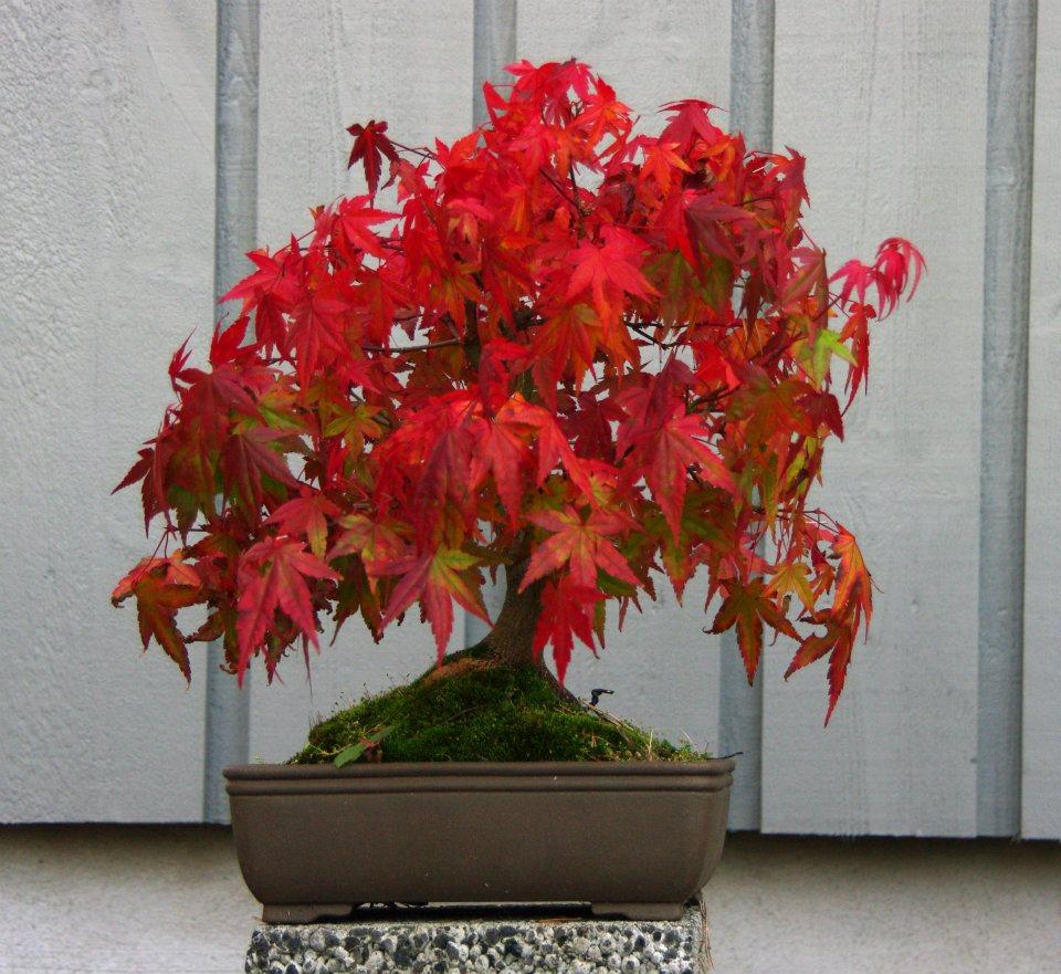 Japansk lønn-bonsai • Foto: Per Arild Gjerde