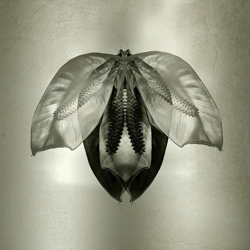 Moth | Lily Petals