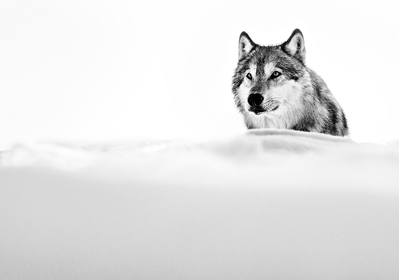 The Focused Wolf