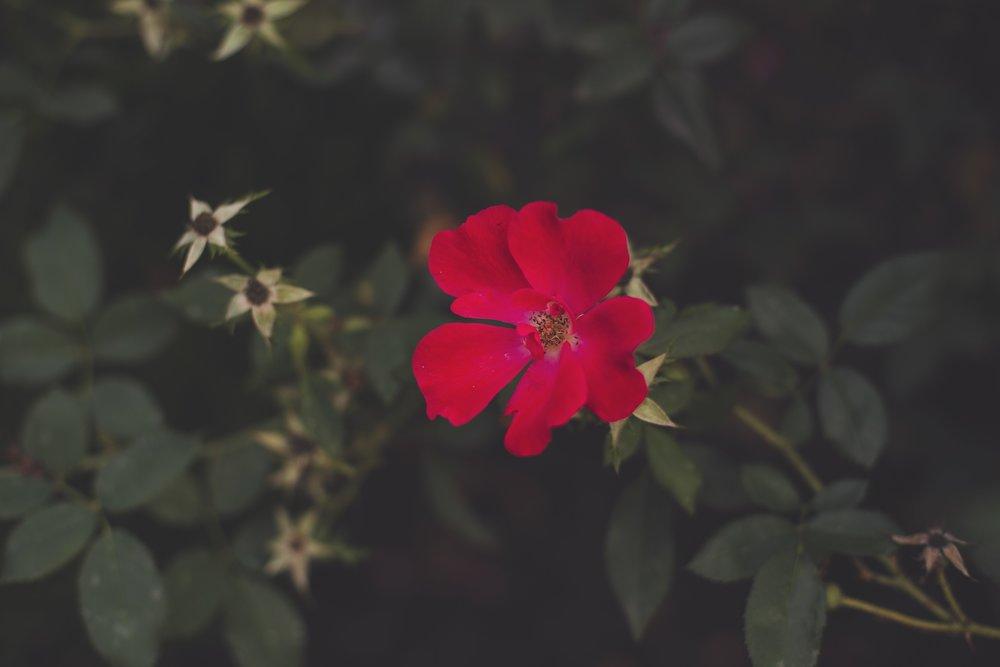 WILD ROSE. - FEB. 14, 2018.