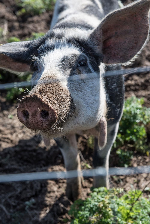 Pig-foraging-in-Hallegaard.jpg