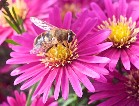 fall aster with bee 2.jpg