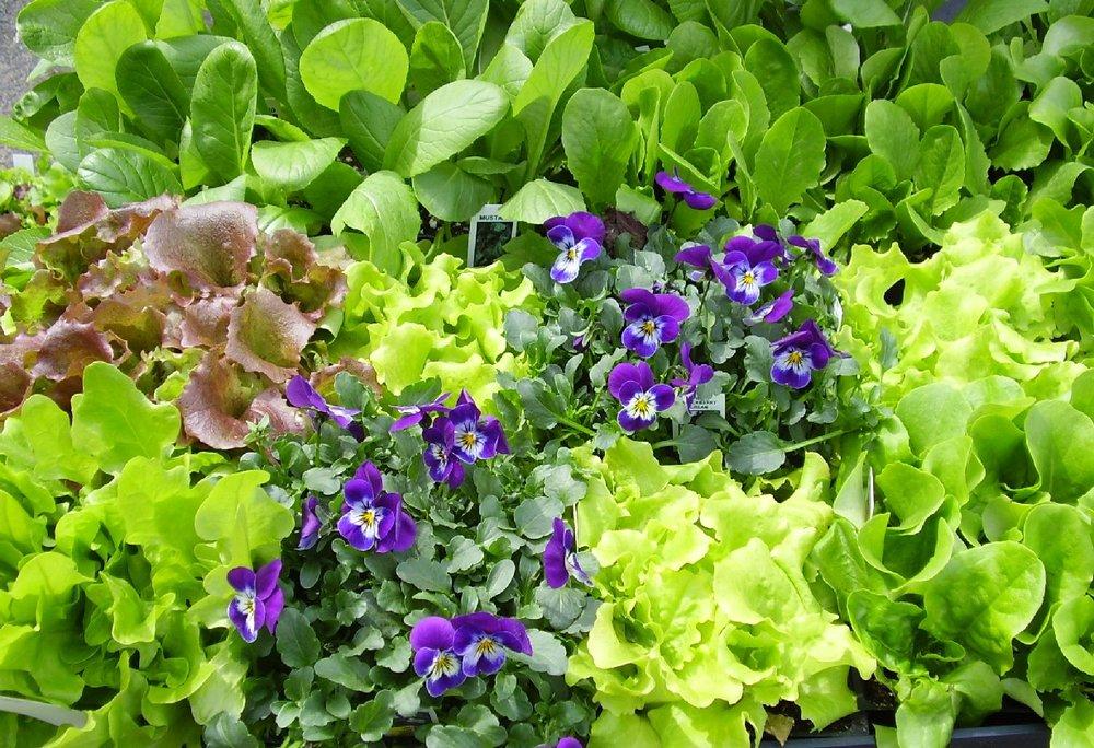 Image1 lettuce.jpg