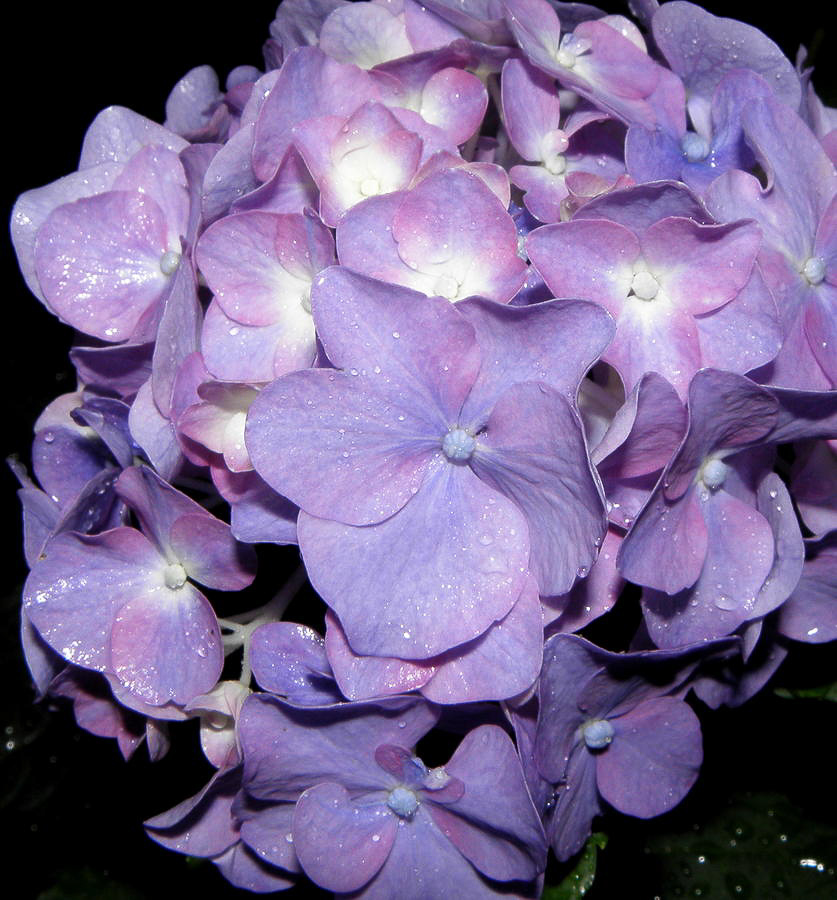 hydrangea purple majesty.jpg