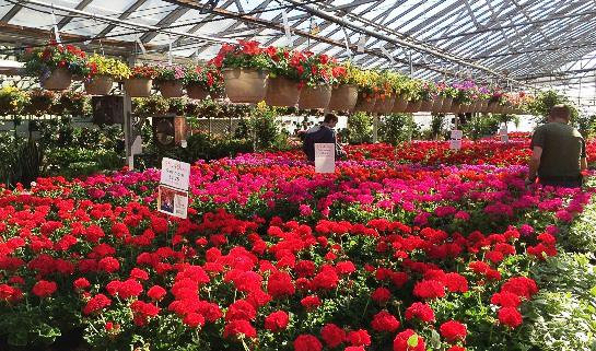 geraniums april 2016.jpg
