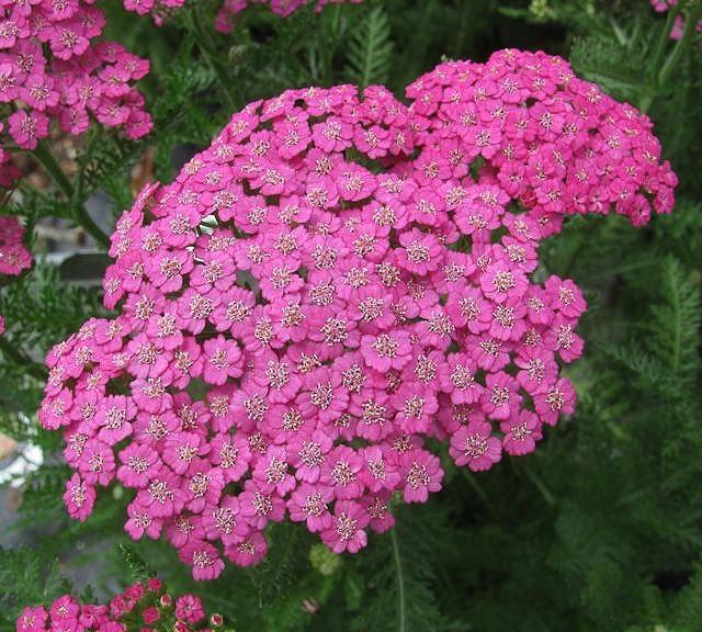 Achillea%20'Pink%20Grapefruit'.jpg