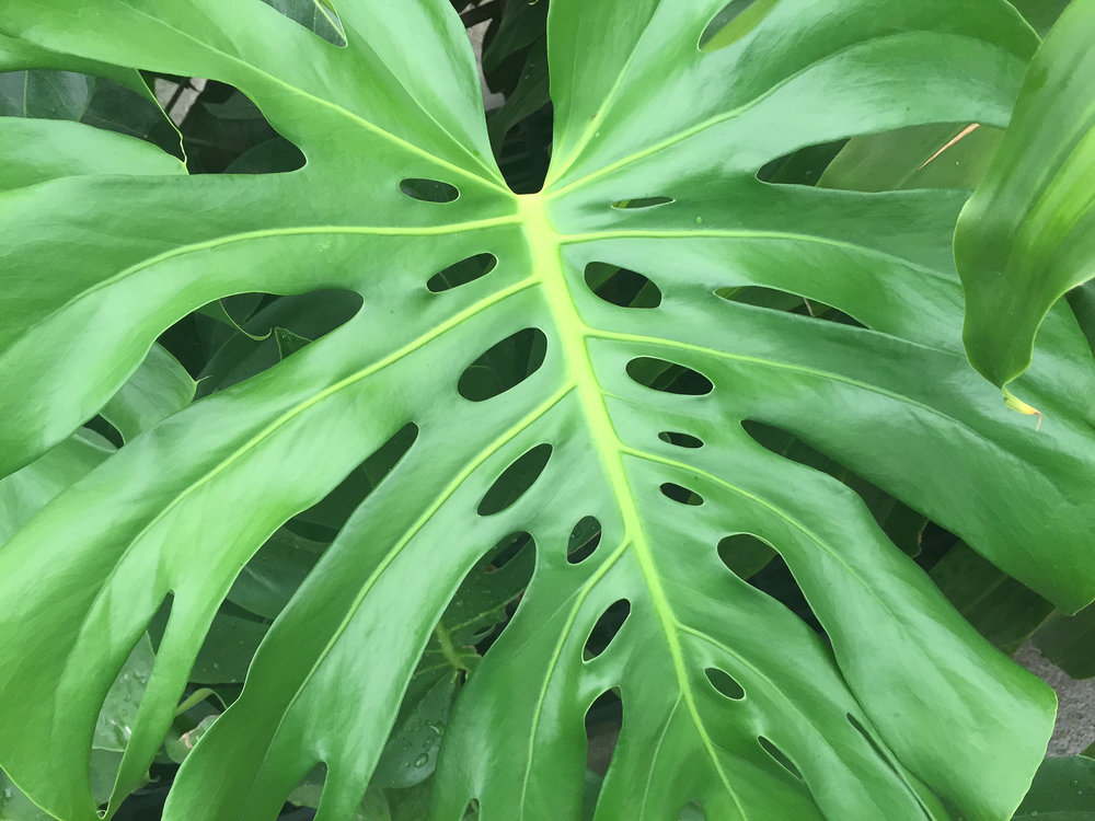 Hope Philodendron.jpg