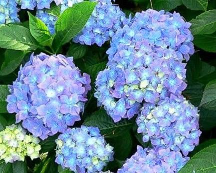 hydrangea_macrophylla_forever_ever_blue__2.jpg