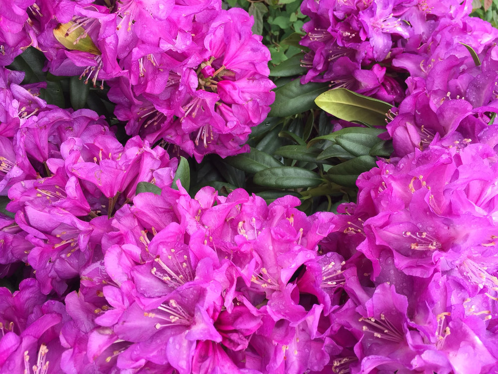 purple passion rhodo.jpg