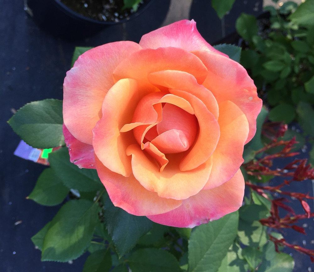 rose Tuscan Sun.jpg
