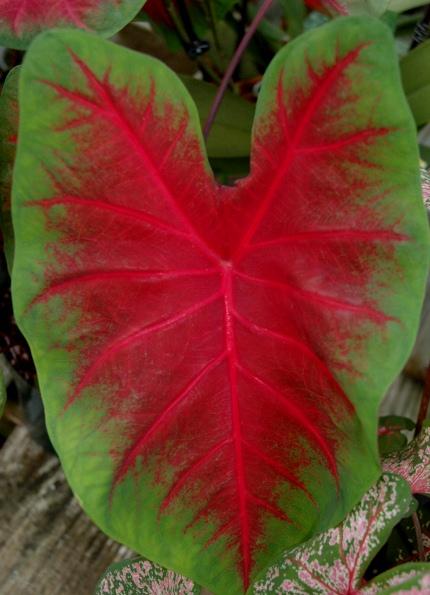 calladium leaf.jpg