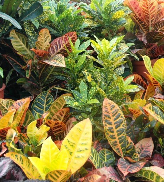 Croton edit.jpg