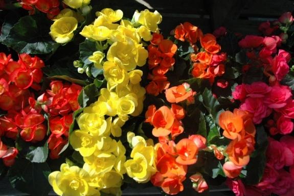 Rieger Begonias.jpg