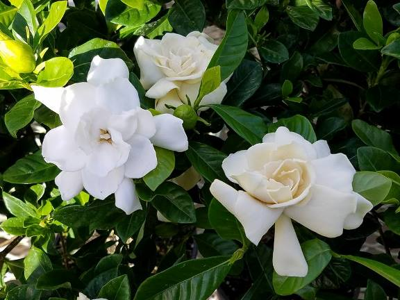 gardenias feb 2017.jpg