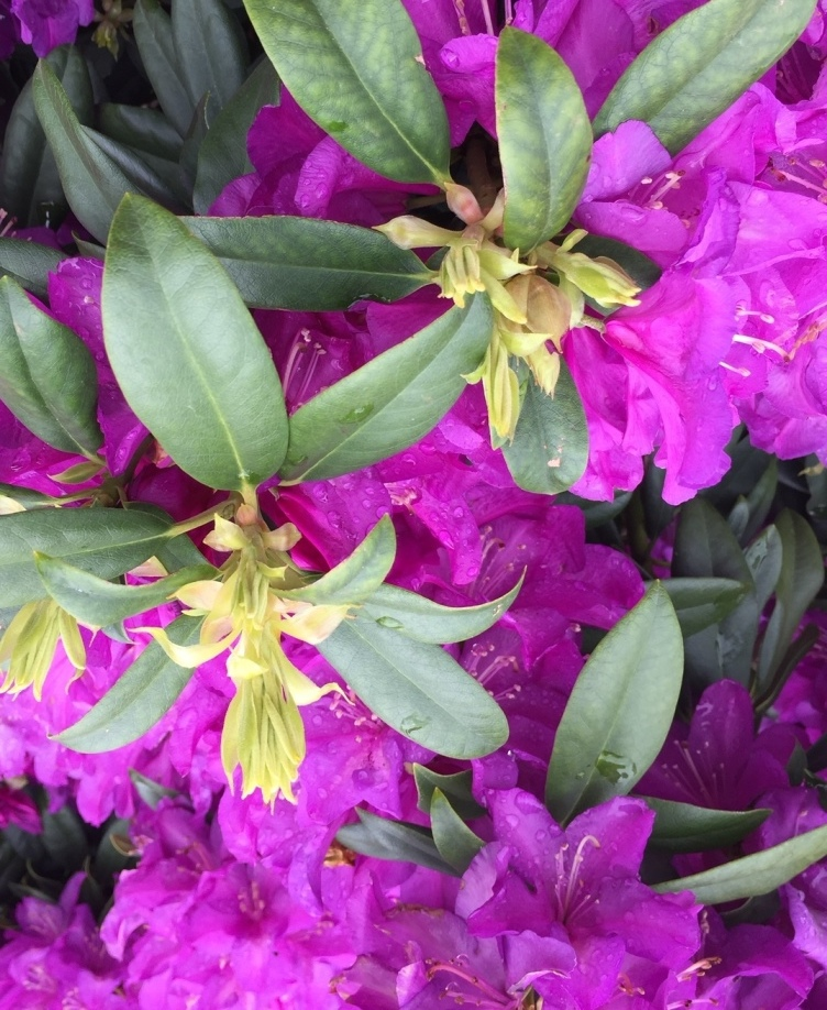 rhodo purple passion resize.JPG