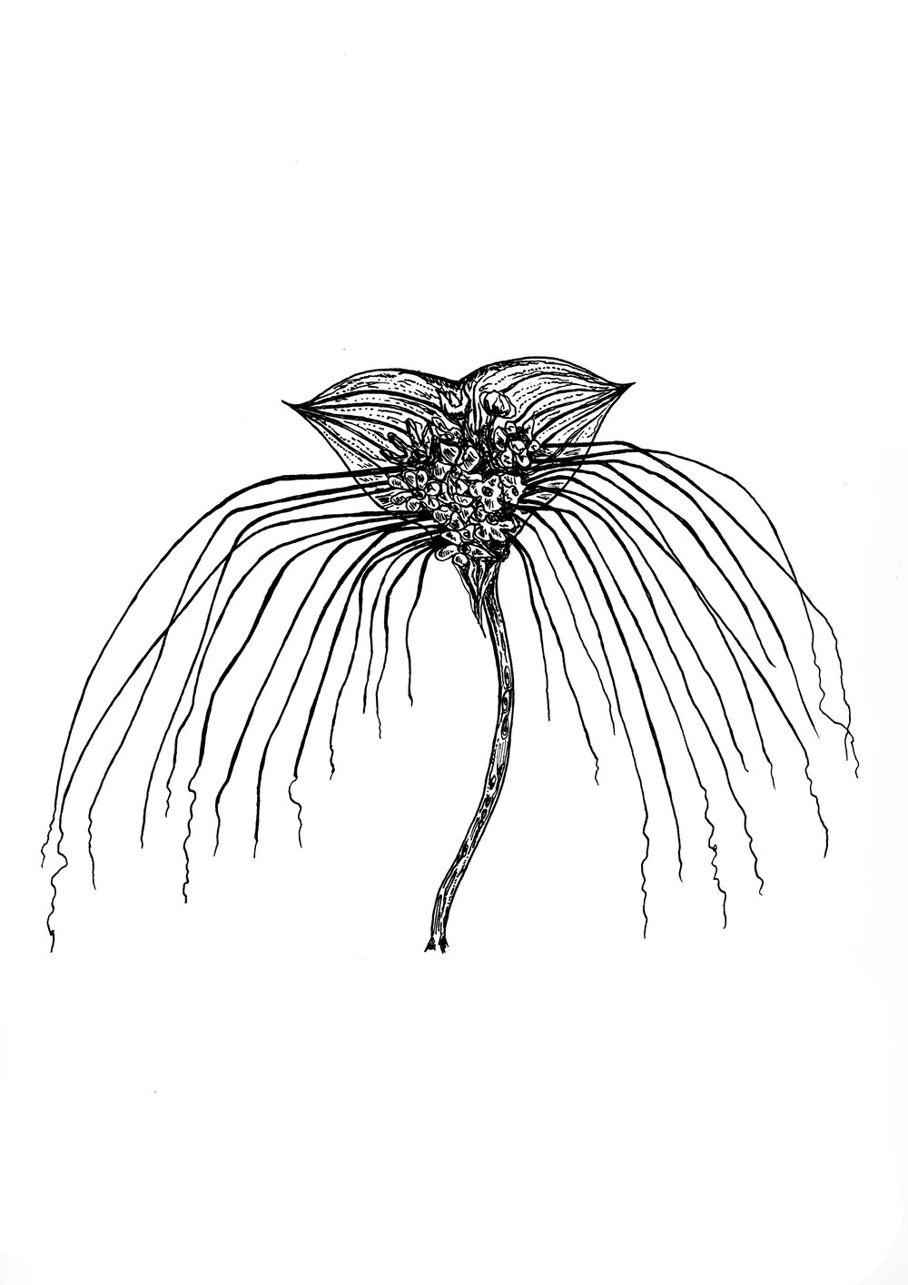 black bat flower.jpg