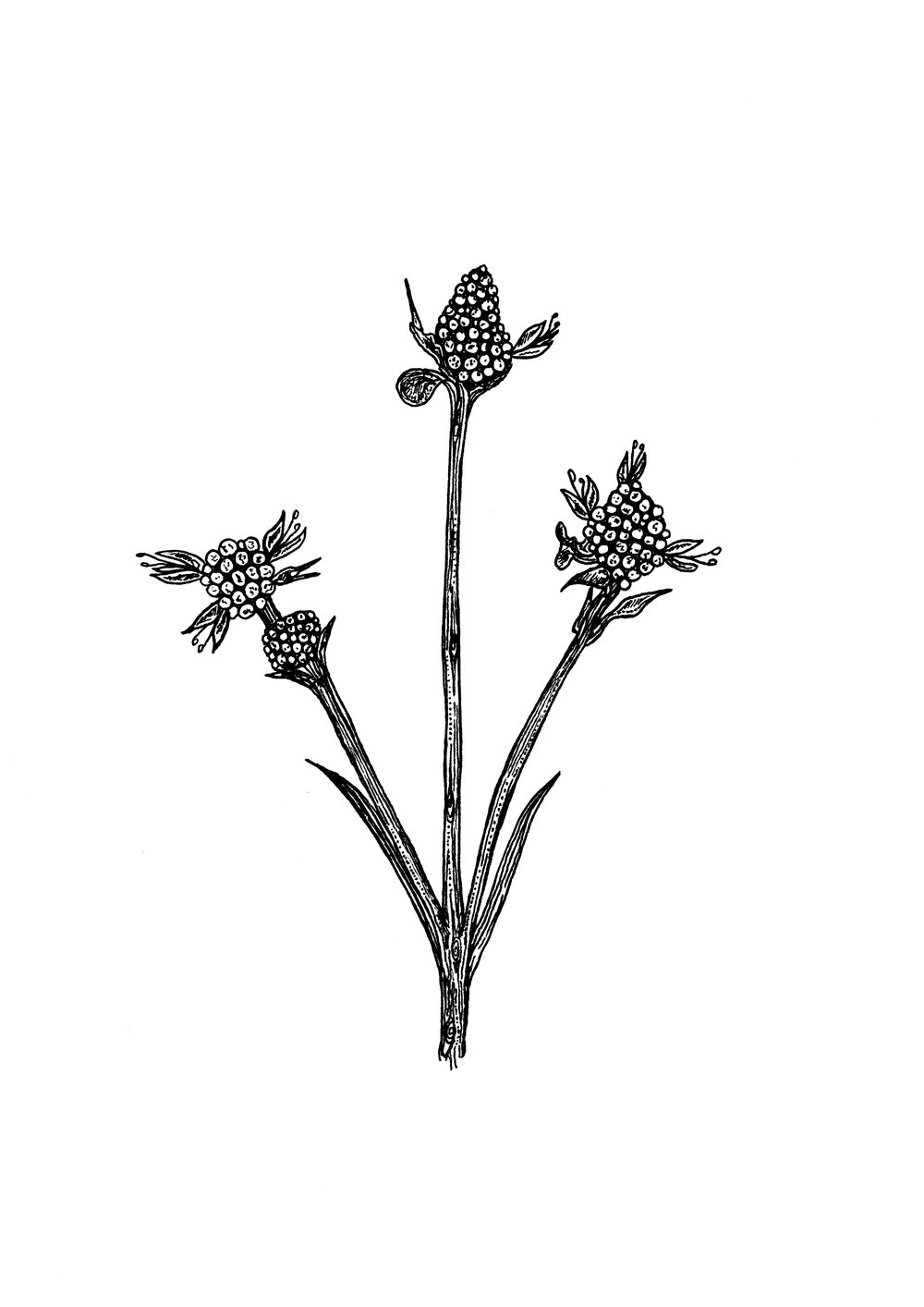 succisellaandreaemolinae.jpg