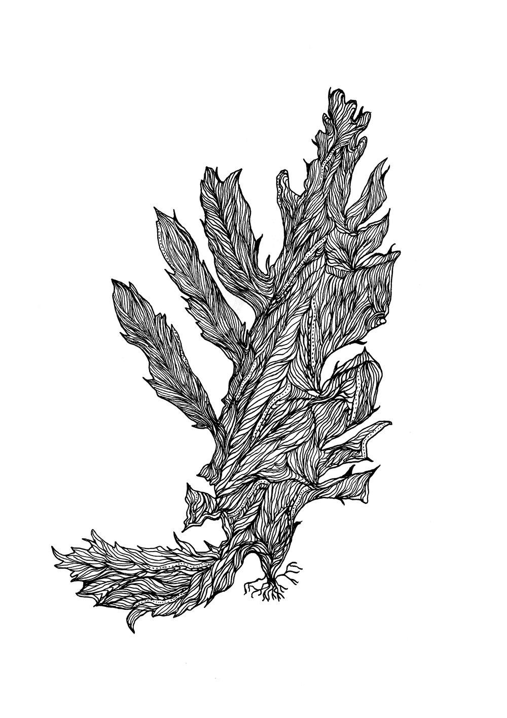 eyelash seaweed.jpg