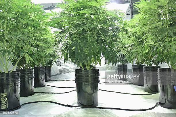 pot meet kettle - how would you grow your pot plant?