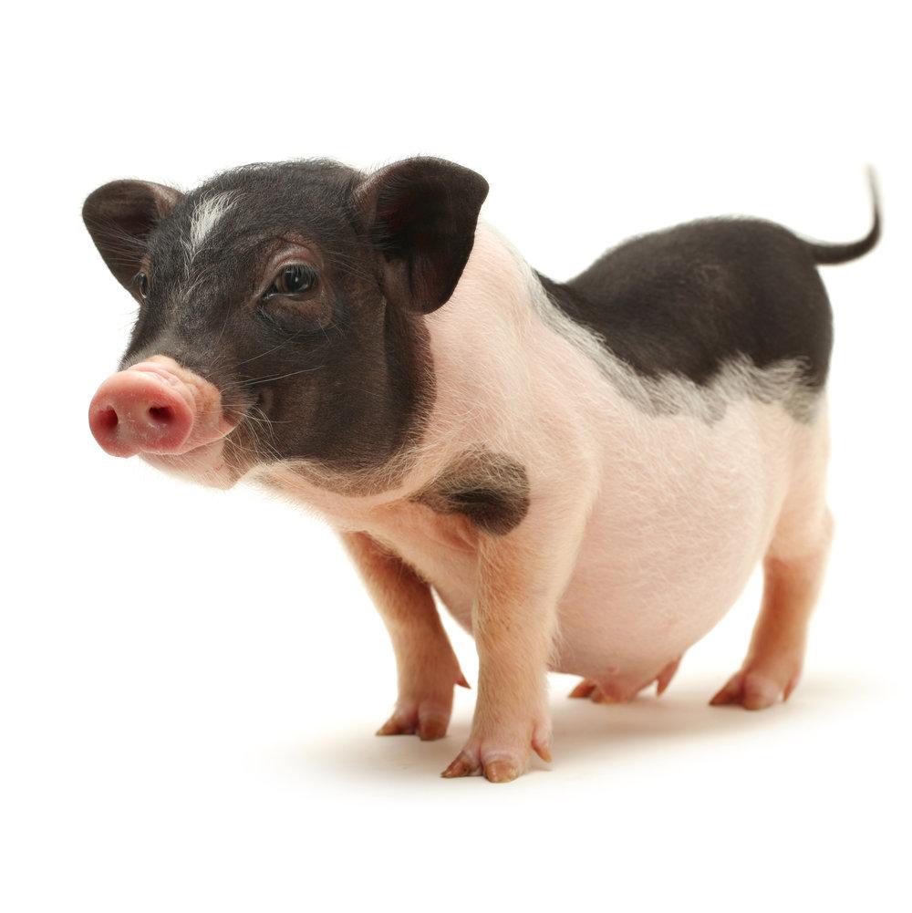 pot belly pig -