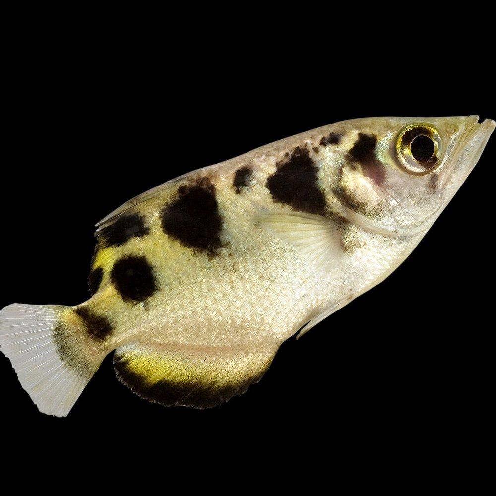 archer fish -