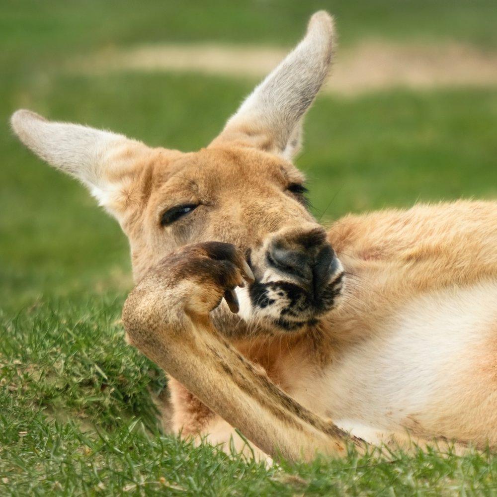 kangaroo -