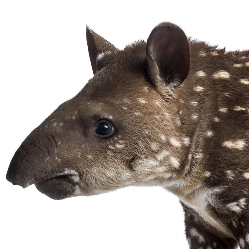tapir -