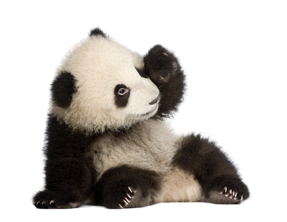 eight: Renée the Sad Panda - ears