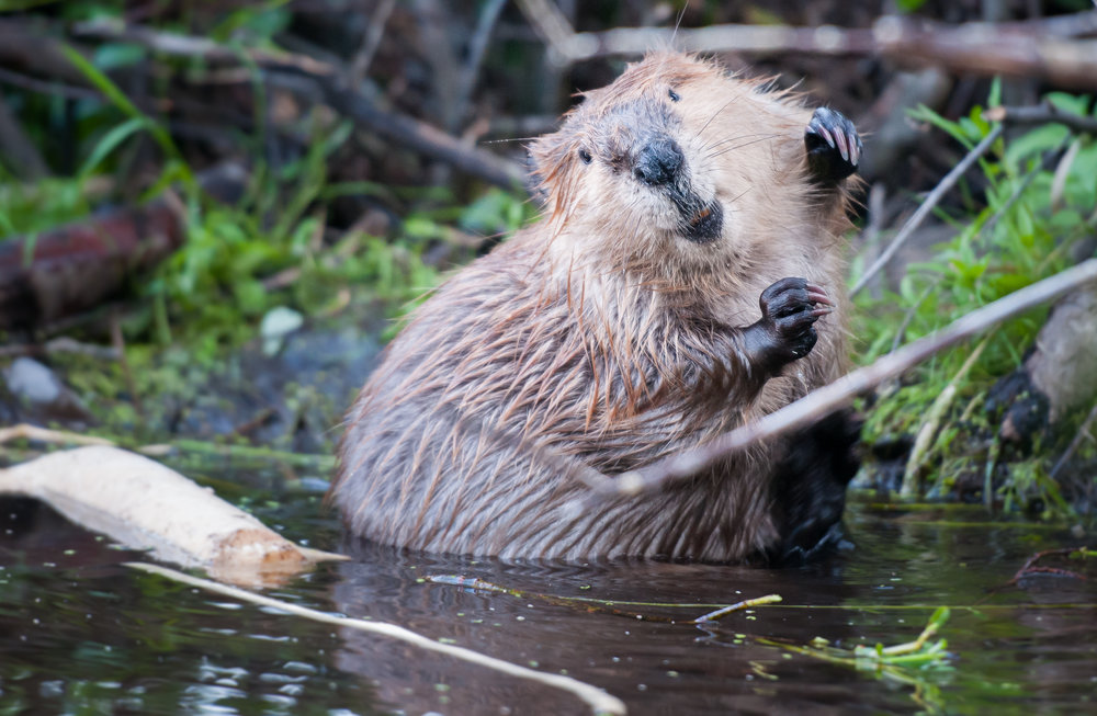 jack: Busy & Beaver - shoulders