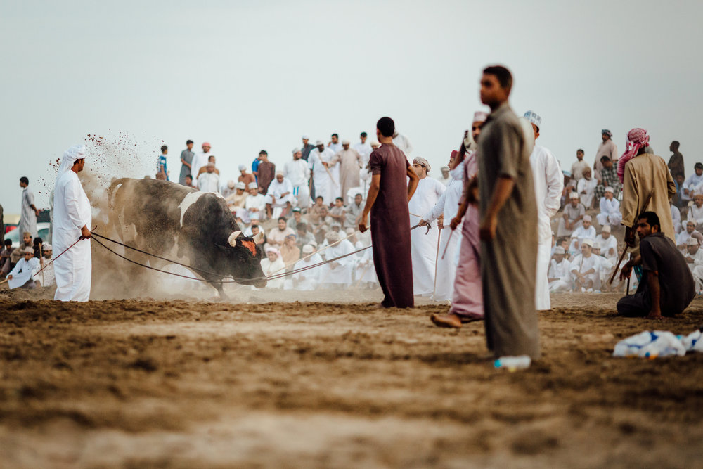 handlers prepare a bull for his next fight in a suburban neighborhood in Al Musannah