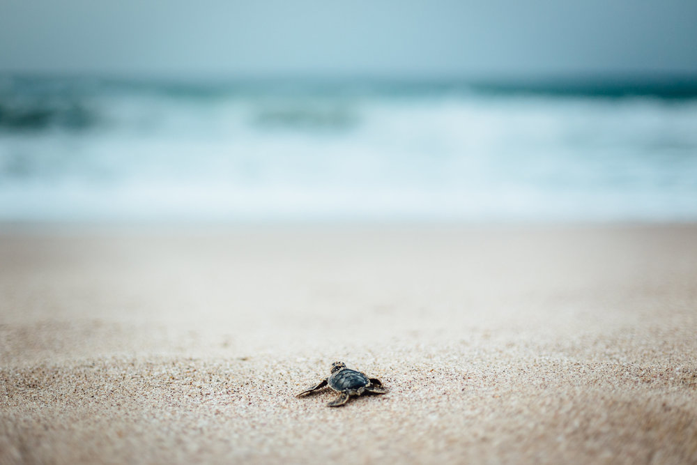 A lone green sea turtle marches towards the sea shortly after hatching at Ras Al Jinz.