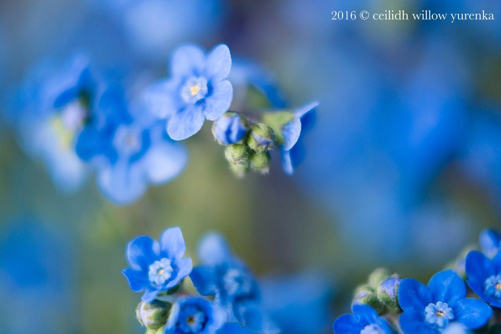 Chinese-forget-me-nots