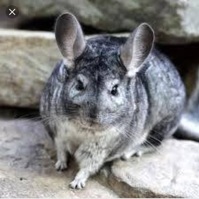 """Chinchillas, the pioneers of dry shampoo"" -Ian. 😂 #salontalk #chinchillabathing #brilliant #lavaashbath #dryshampoo"