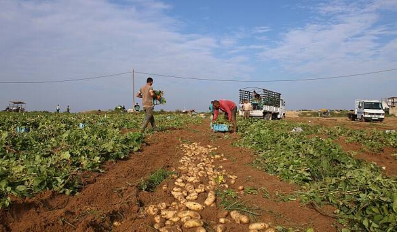 Potatoes have always been an important cash crop for Palestinian farmers – but in a moment's time, their clientele has dried up: now that it is perfectly acceptable to discriminate in Israel, Israeli potato farmers have demanded all of the action, and gotten it.