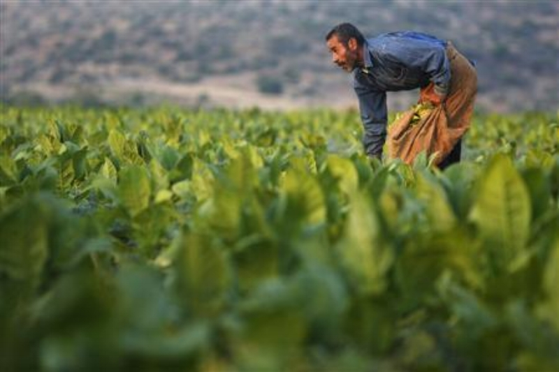 Tobacco is another crop important to economic survival for Palestinian farmers – which makes it an excellent target for those seeking to ruin them. REUTERS/Mohamad Torokman