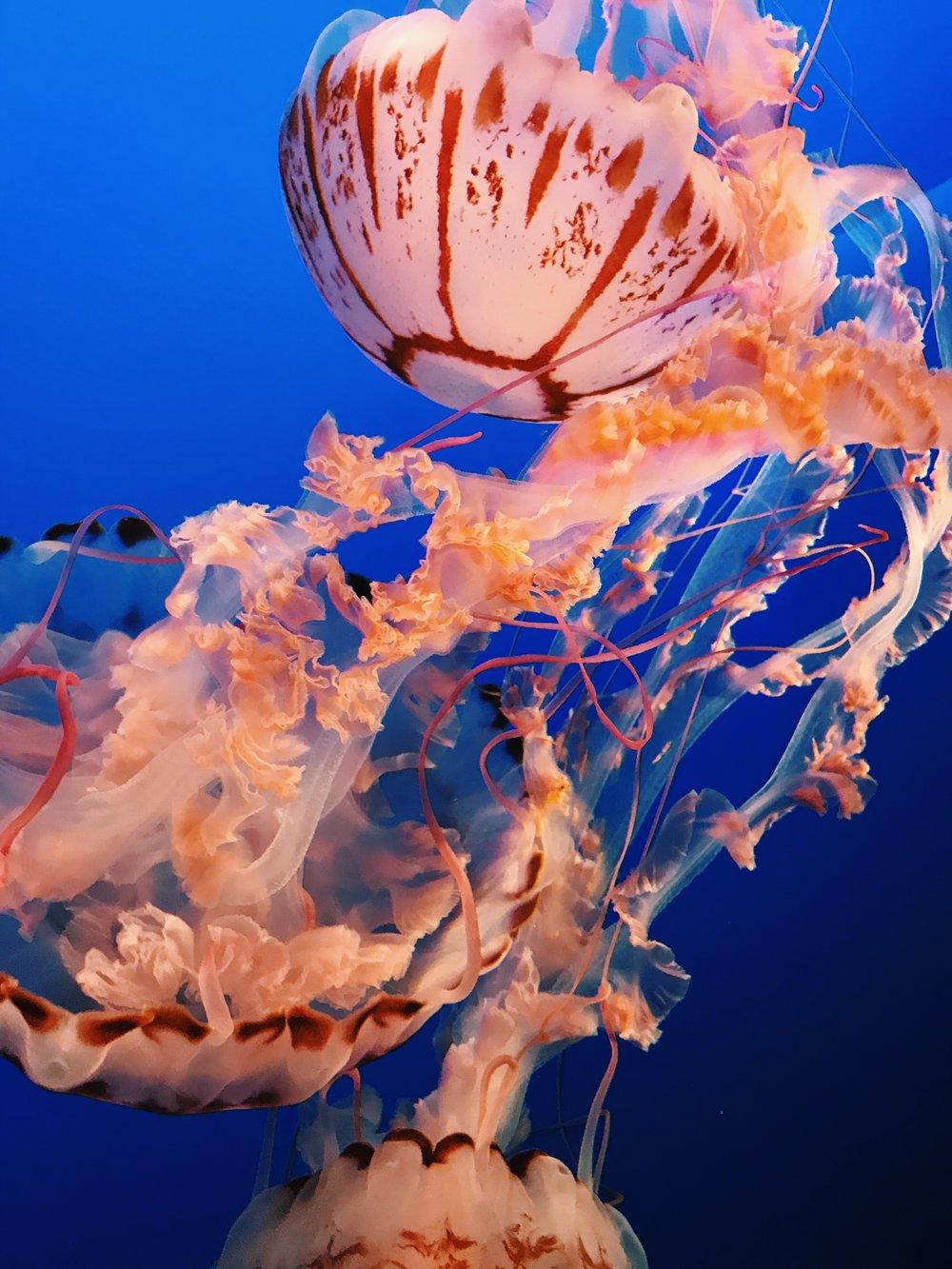 monterey-bay-aquarium-jelly-fish.JPG