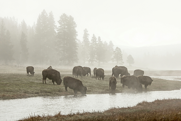 bisons-in-the-mist-andree-thorpe.jpg