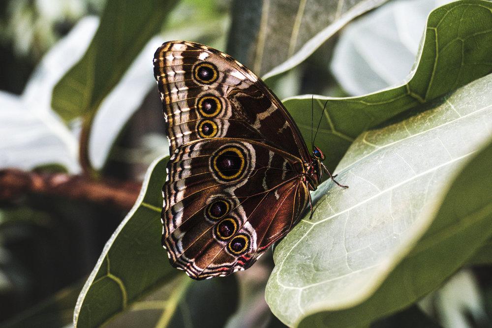Ocelli on a caligo butterfly