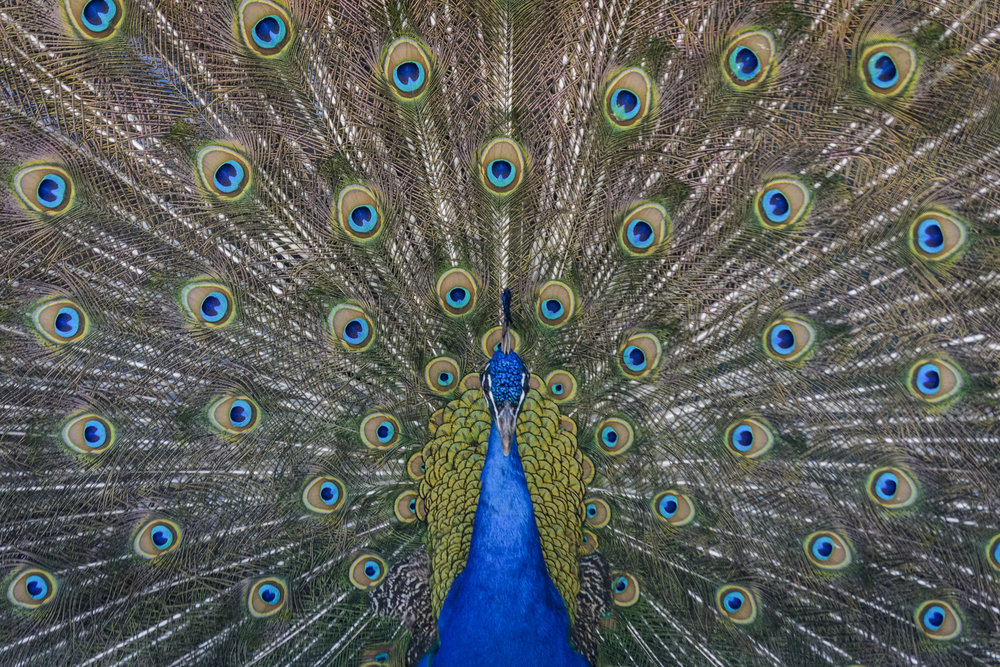 Ocelli on peacock feathers